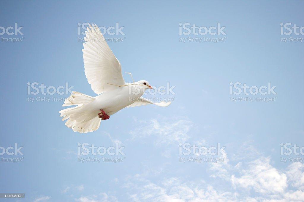 White dove flying in light blue sky stock photo