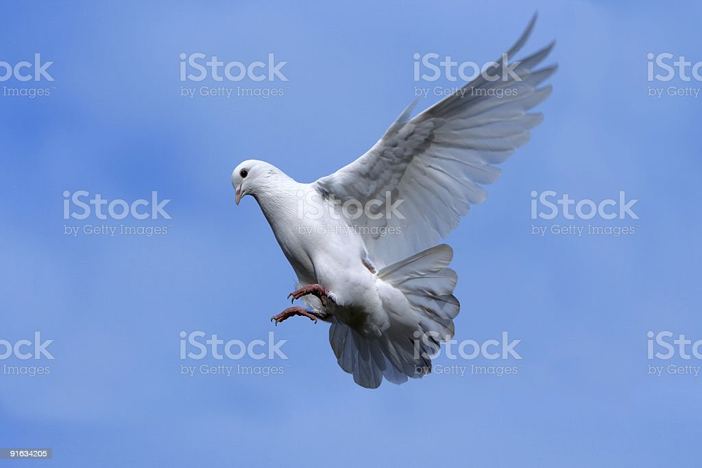 White dove flying in Sky. royalty-free stock photo