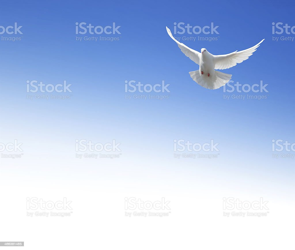 White dove flying in the sky stock photo