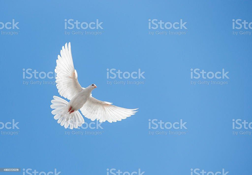 White dove flying in the sky stock photo