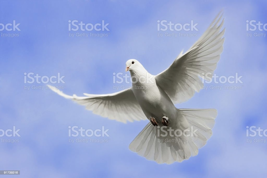 White dove flying in the Sky. royalty-free stock photo