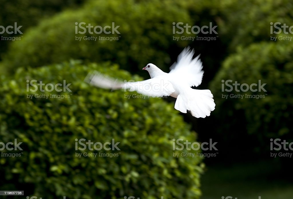 White dove flying over manicured green bushes stock photo