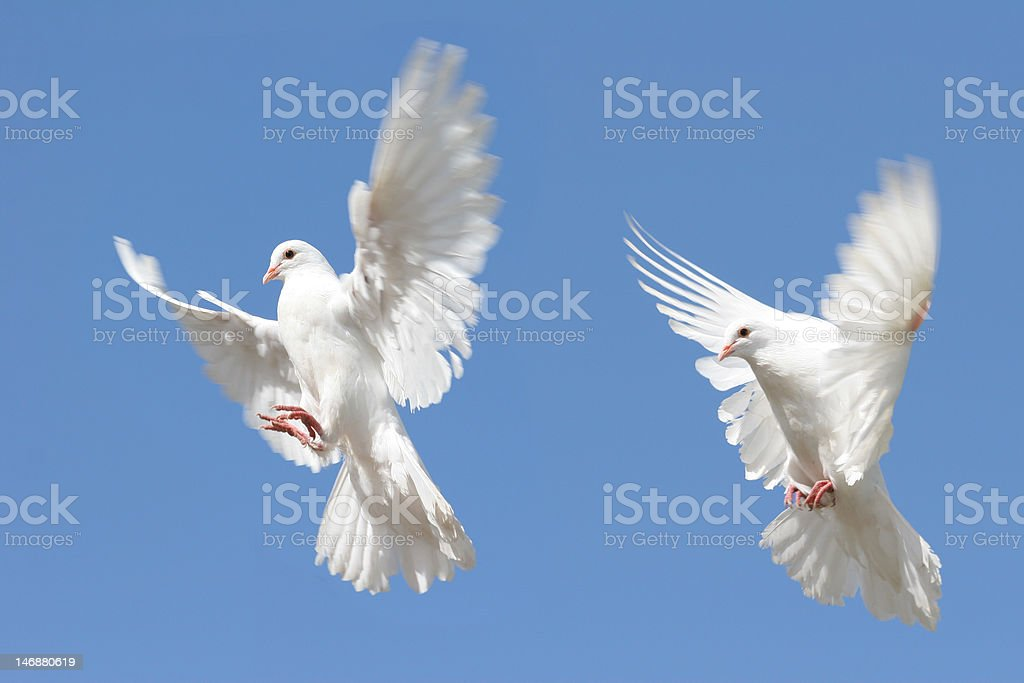 White Dove flying royalty-free stock photo