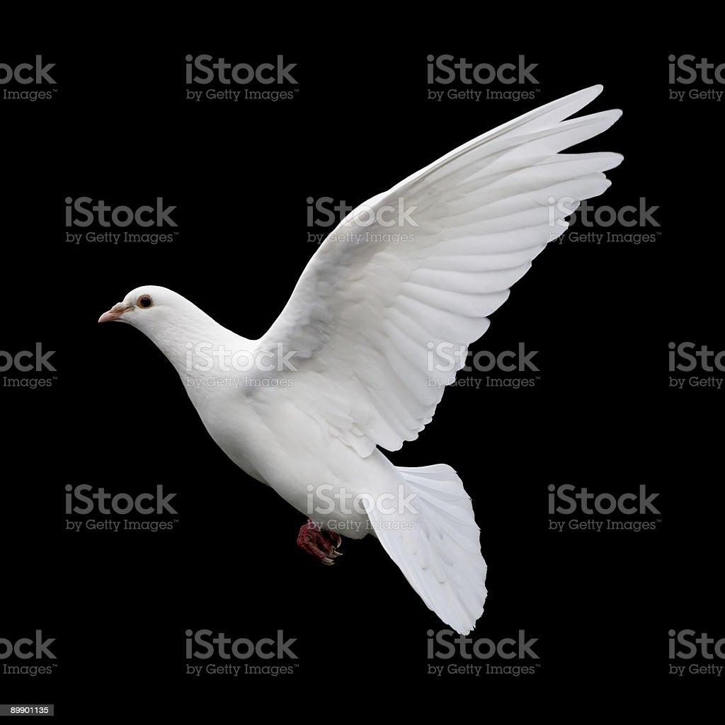 White Dove in Flight 11 stock photo