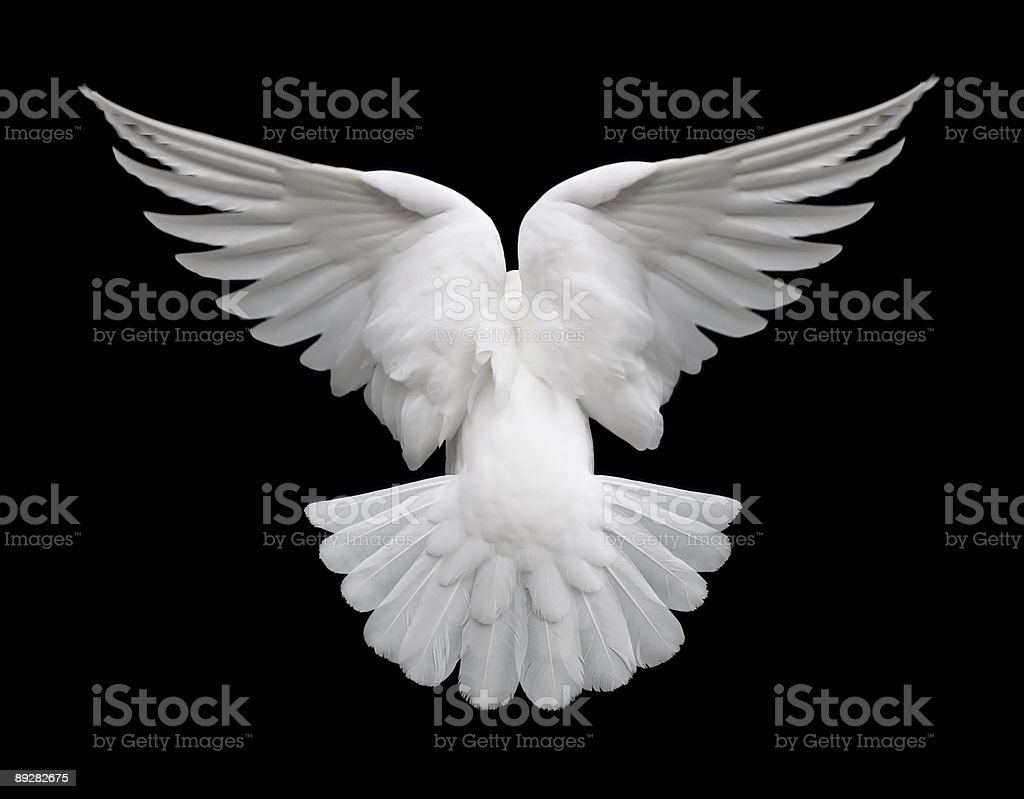 White Dove in Flight 2 stock photo