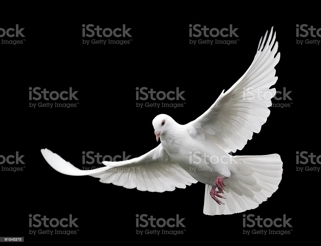 White Dove in Flight 6 stock photo