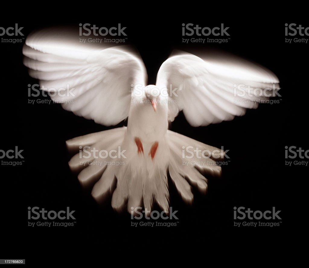 White dove in flight against black background royalty-free stock photo
