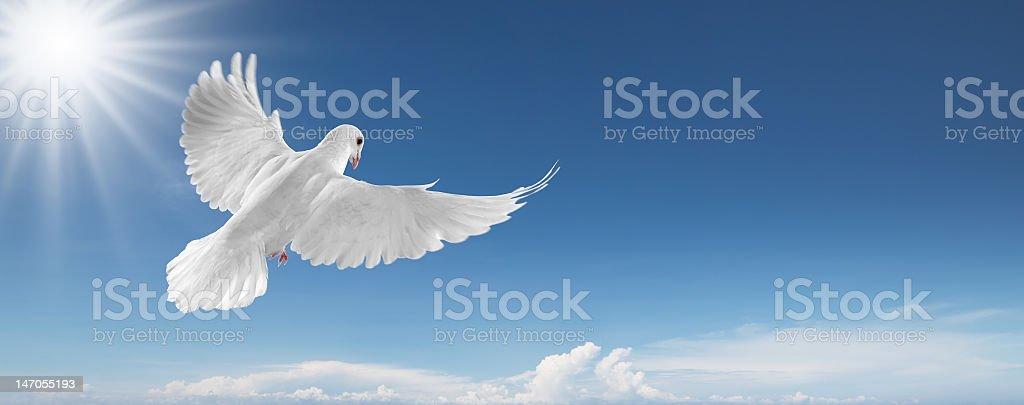 A white dove in flight in the sky stock photo