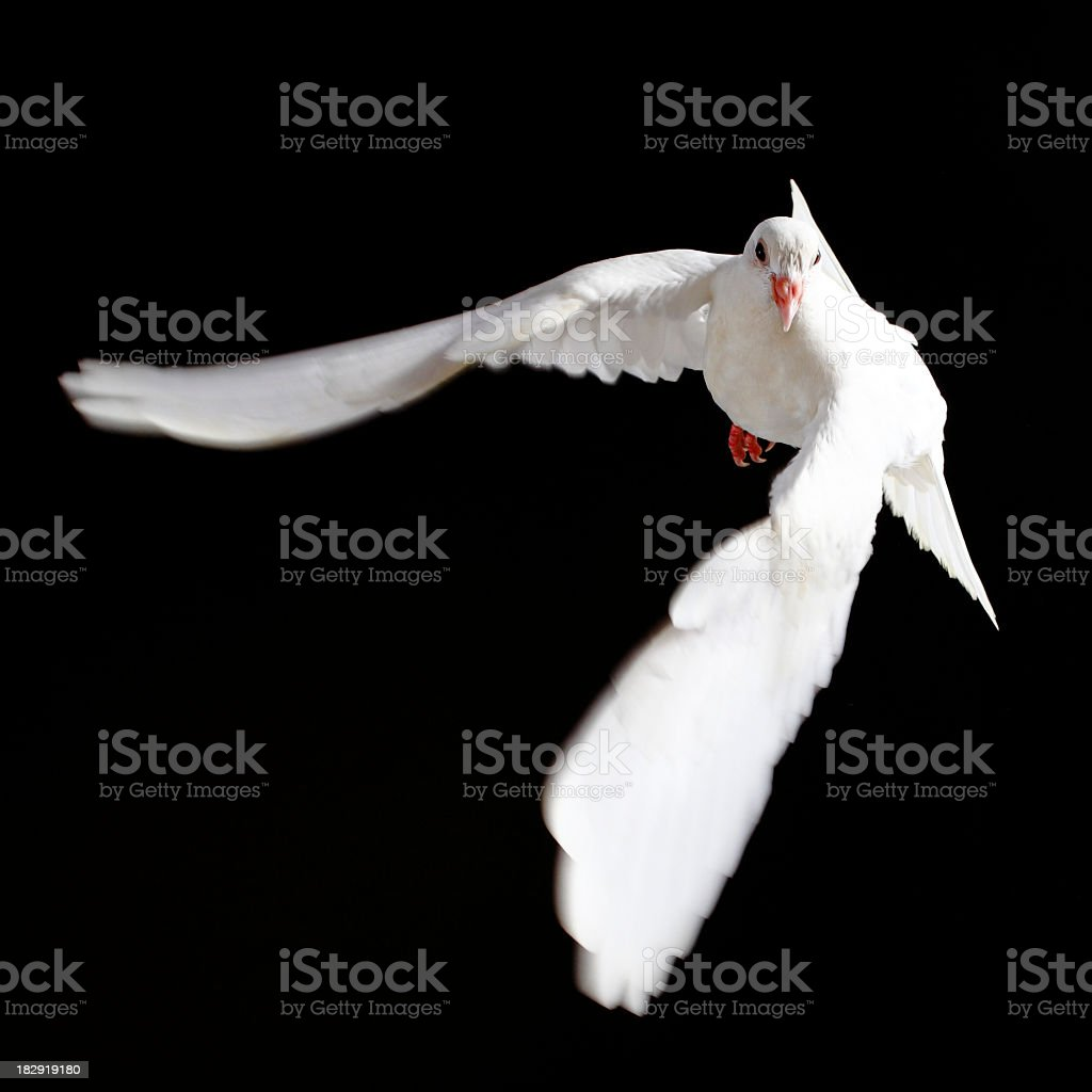 White dove in flight on a black background  stock photo