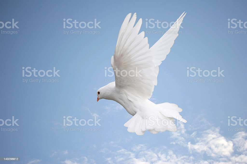 White dove in flight stock photo