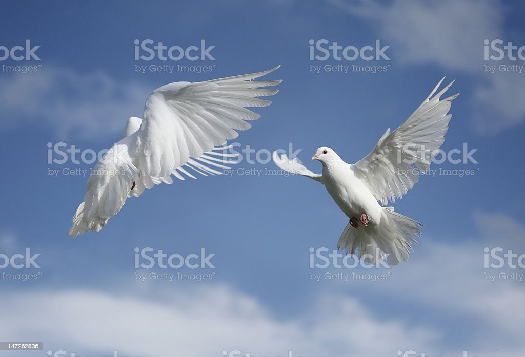 White dove in flight royalty-free stock photo