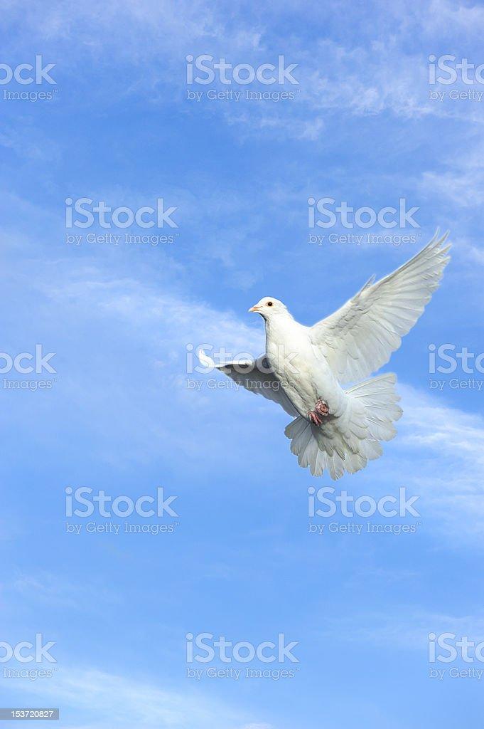 white dove in free flight stock photo