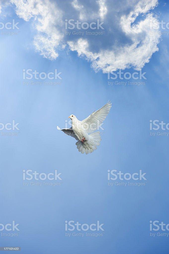 white dove in free flight royalty-free stock photo