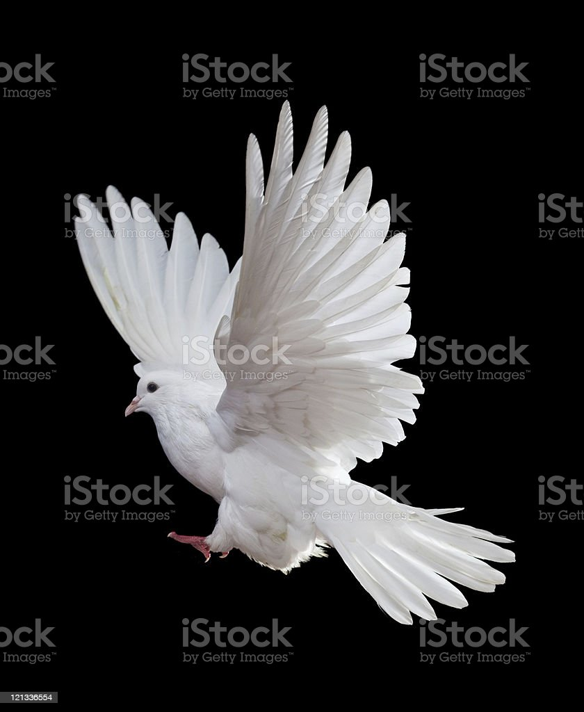 White dove in full flight on black background stock photo