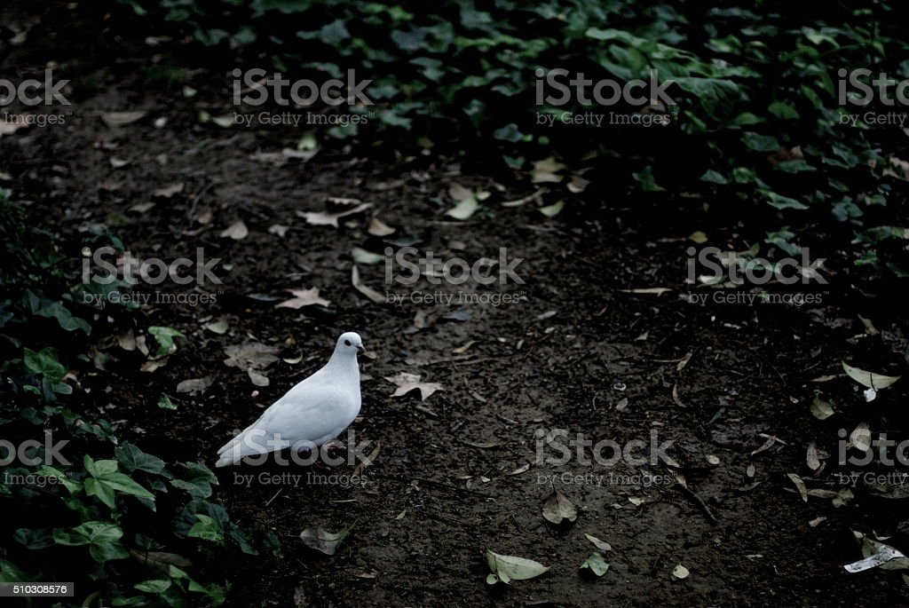 White Dove in Maria Luisa Park. stock photo