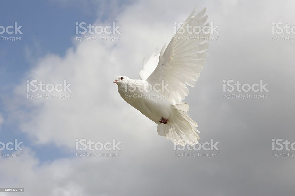 White Dove, into the light royalty-free stock photo