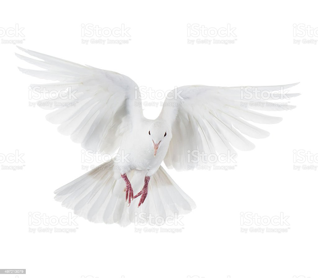 White dove isolated on white stock photo
