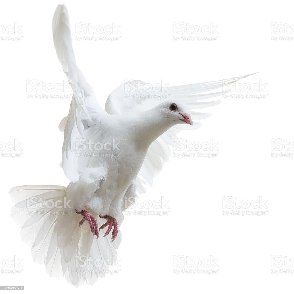 White Dove isolated stock photo