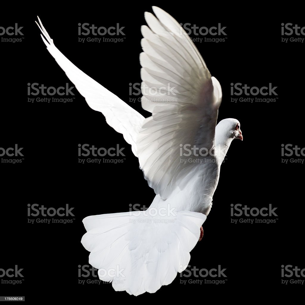 White Dove isolated royalty-free stock photo