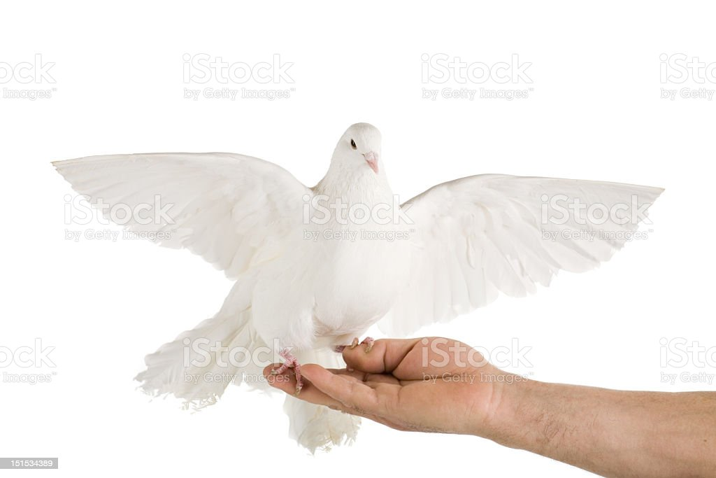 White dove launching on human's hand royalty-free stock photo