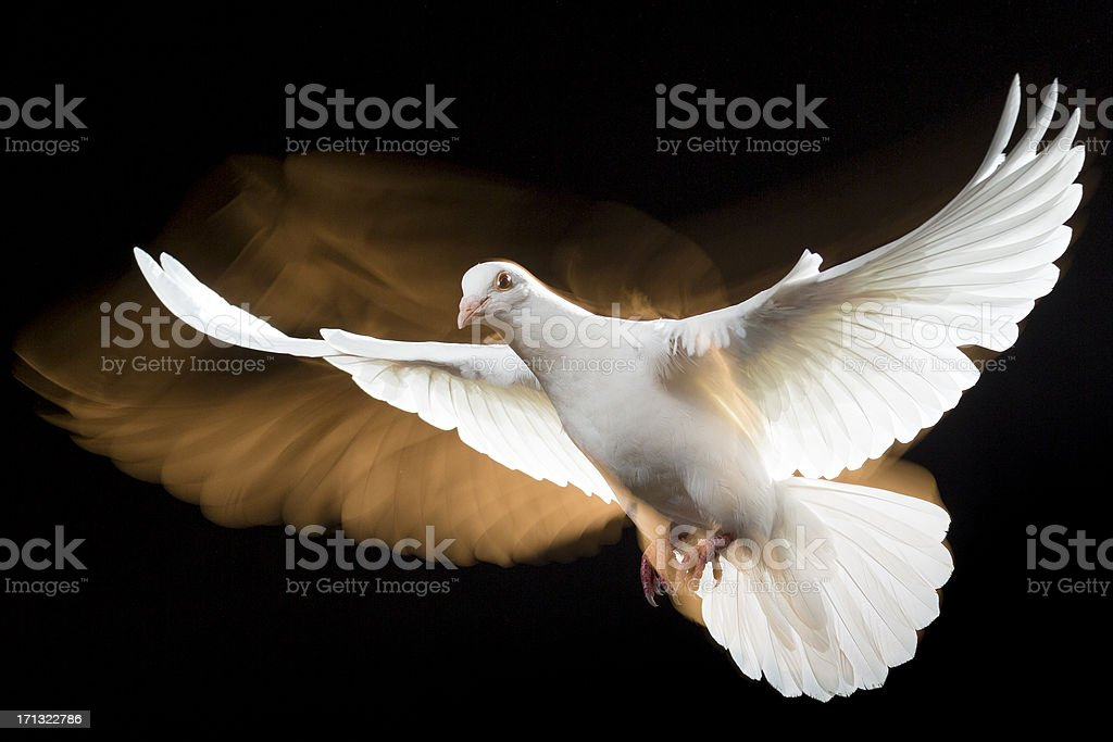 White Dove on black stock photo
