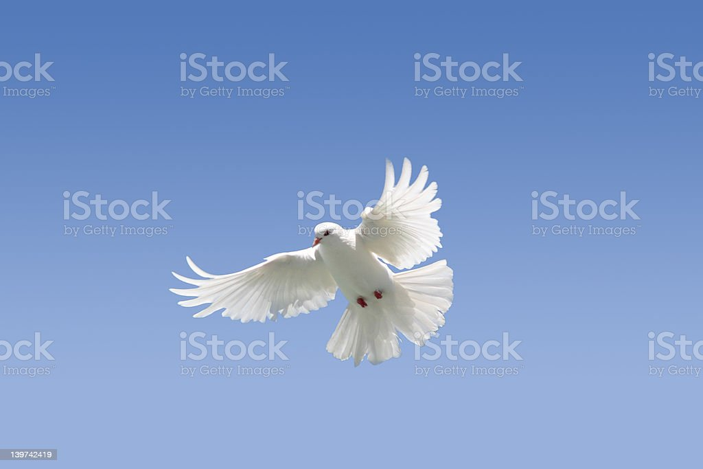 White Dove on blue royalty-free stock photo