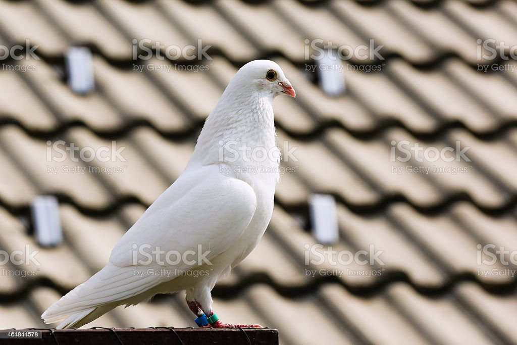 White dove on breeding cage stock photo