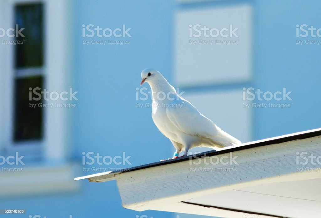 White dove on the roof stock photo