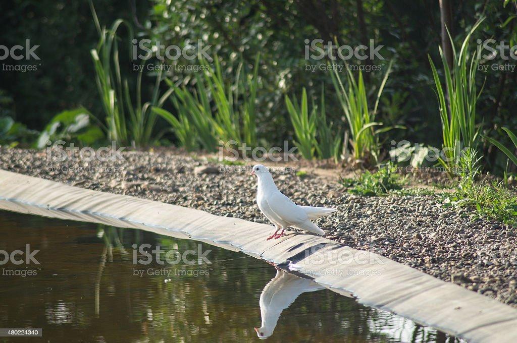 White dove on the shore stock photo