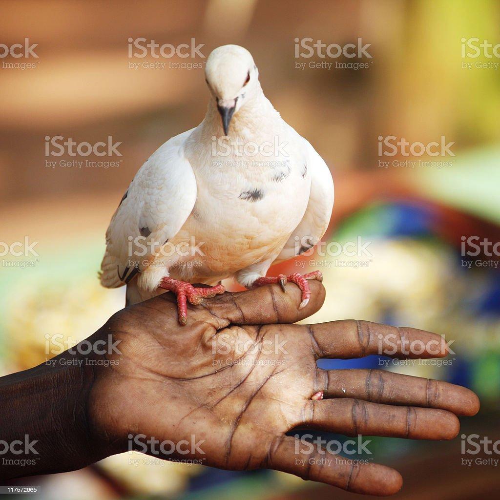 white dove royalty-free stock photo