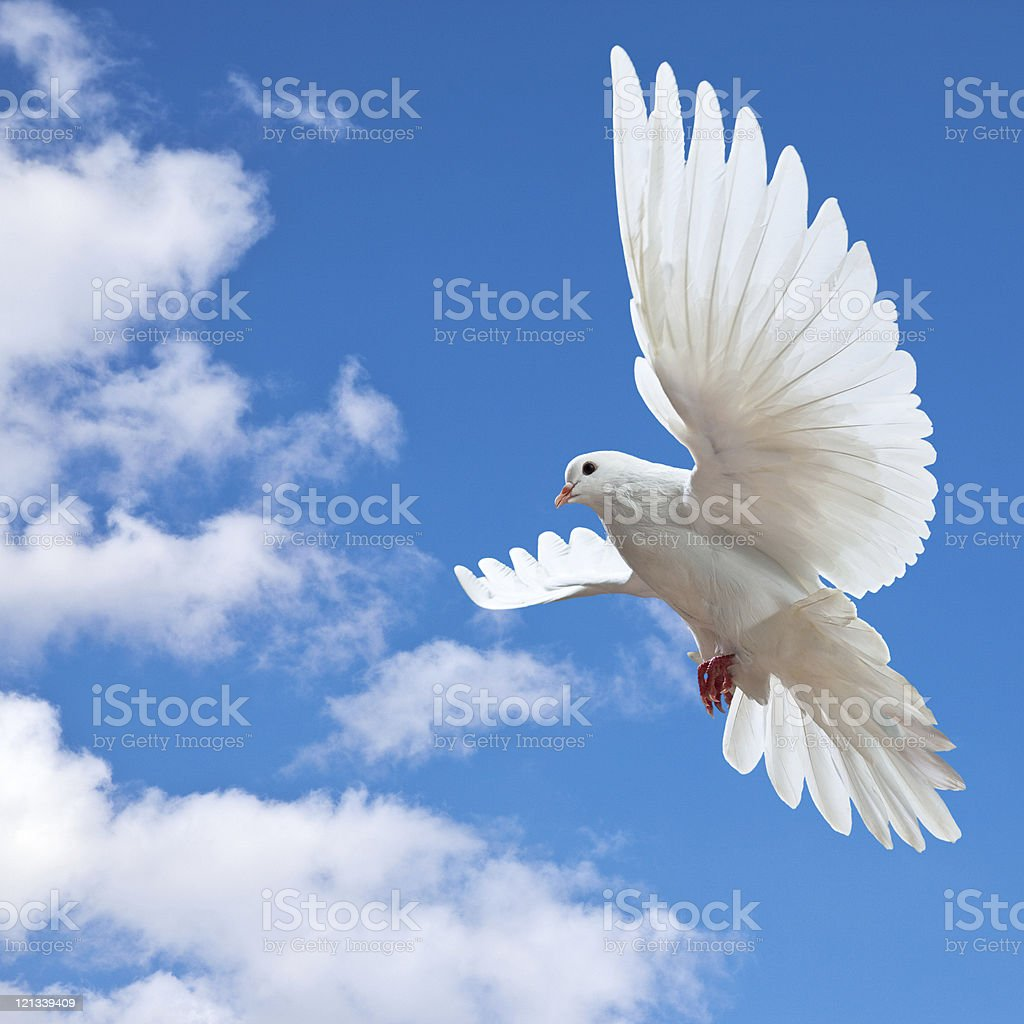White dove spreading its wings to fly higher  stock photo
