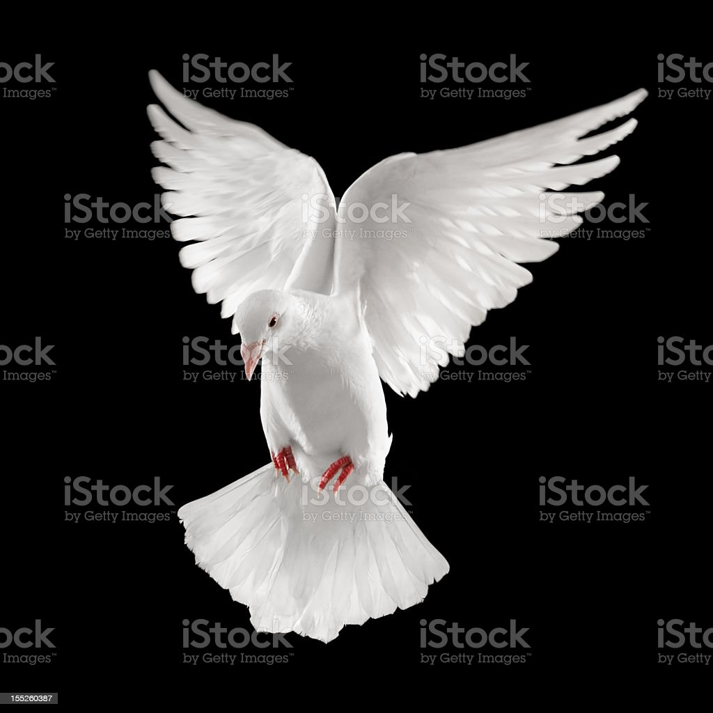 White dove spreading wings and soaring royalty-free stock photo