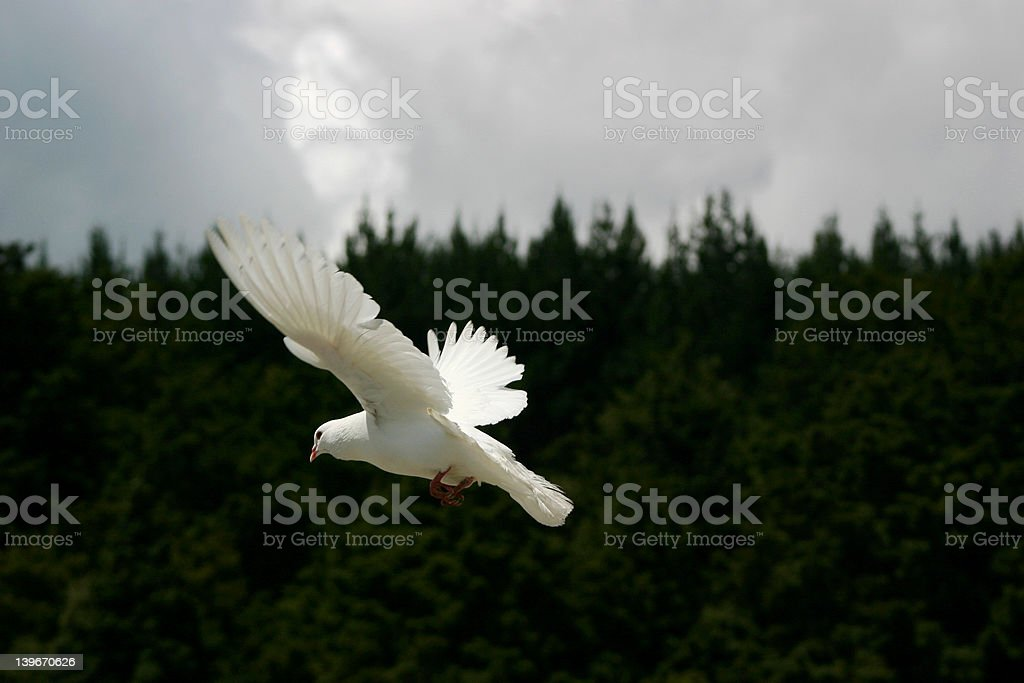 White Dove, stormy weather royalty-free stock photo