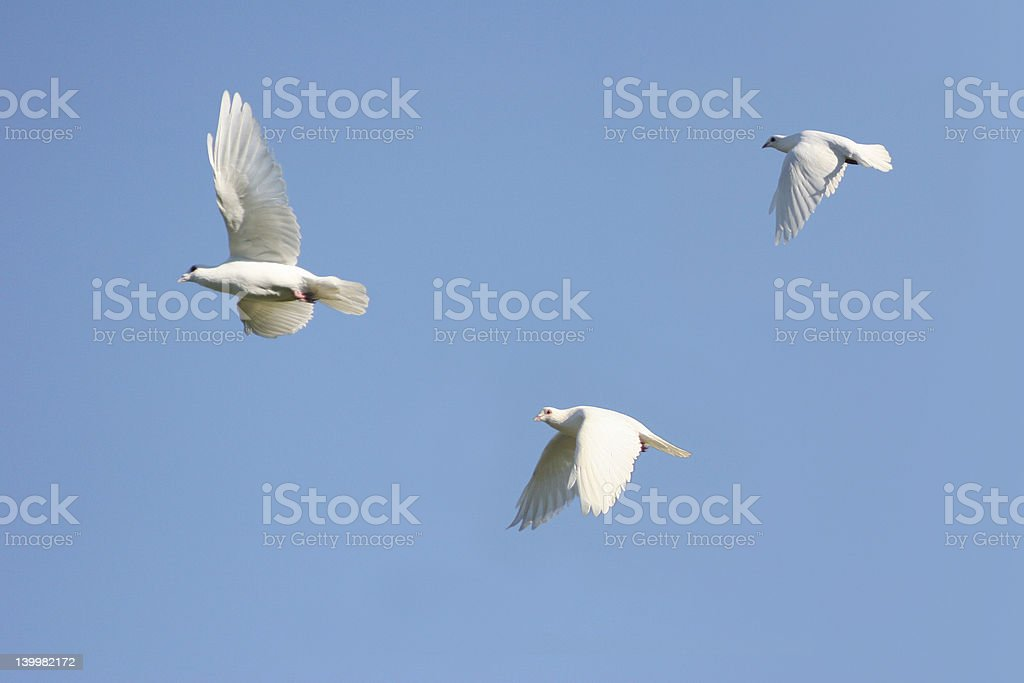 White Dove trio royalty-free stock photo