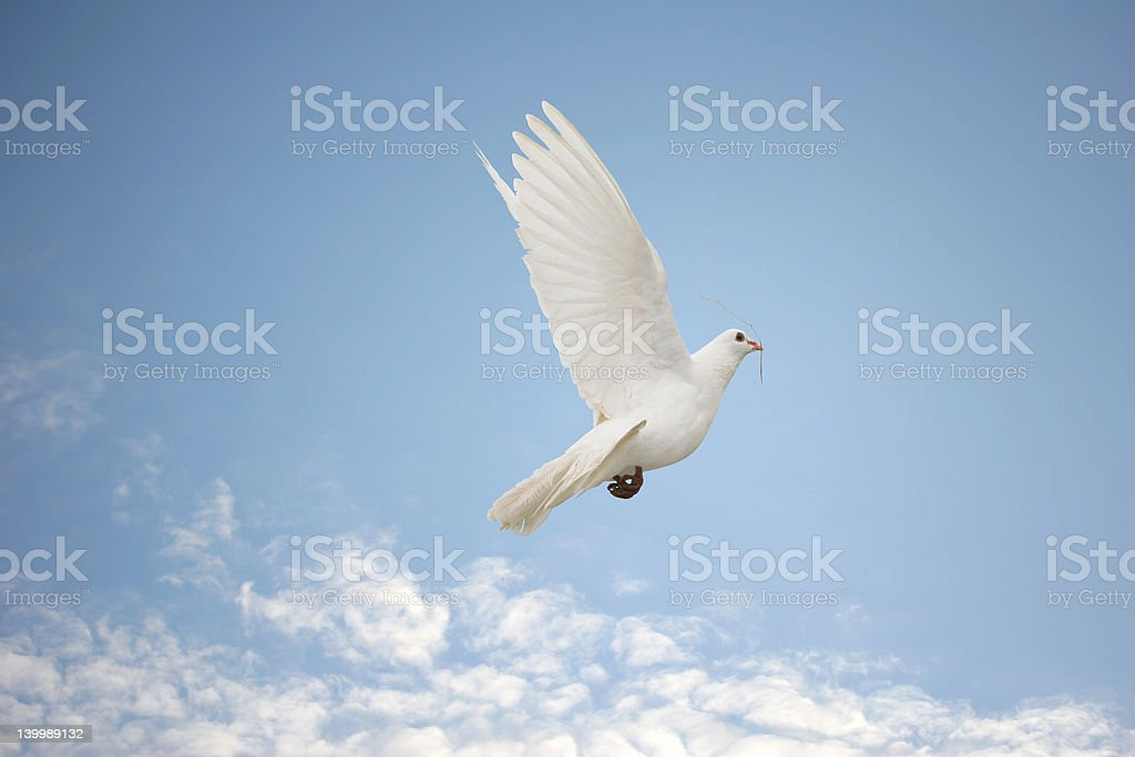 White Dove, twig in mouth stock photo