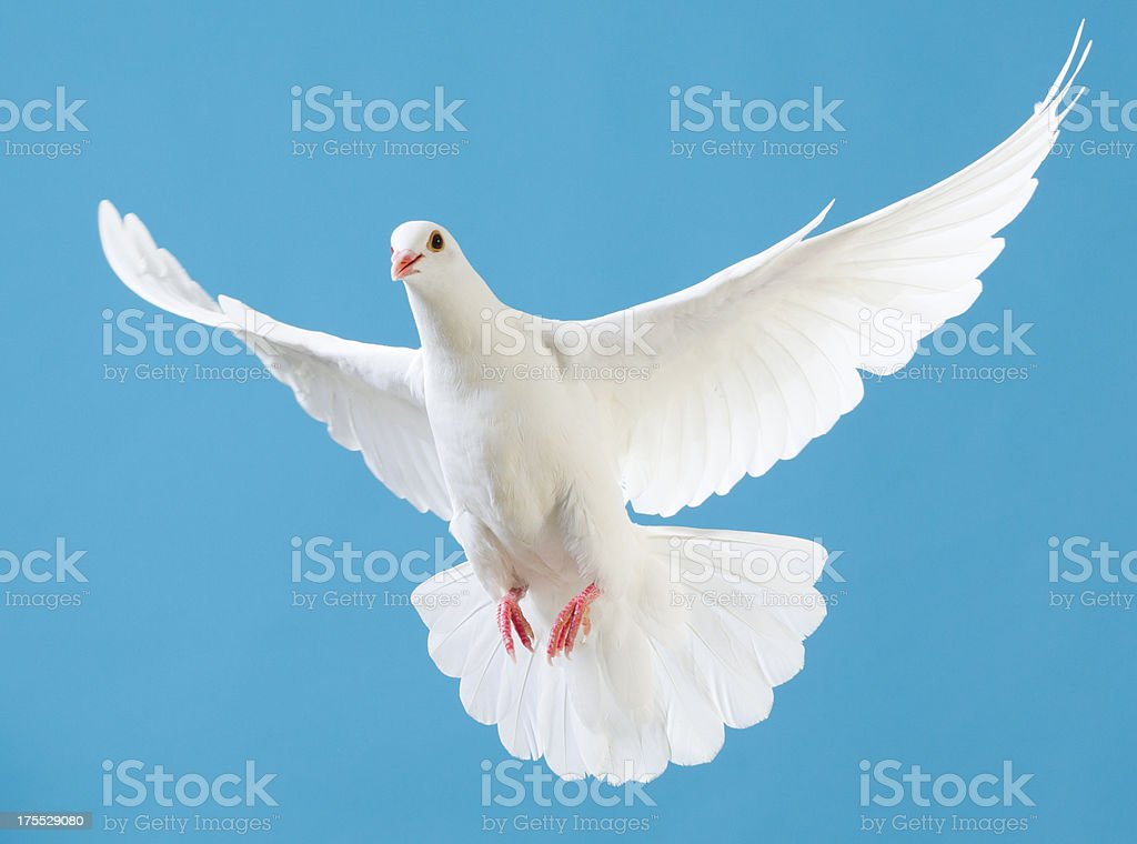 White dove with outstretched wings isolated on blue stock photo