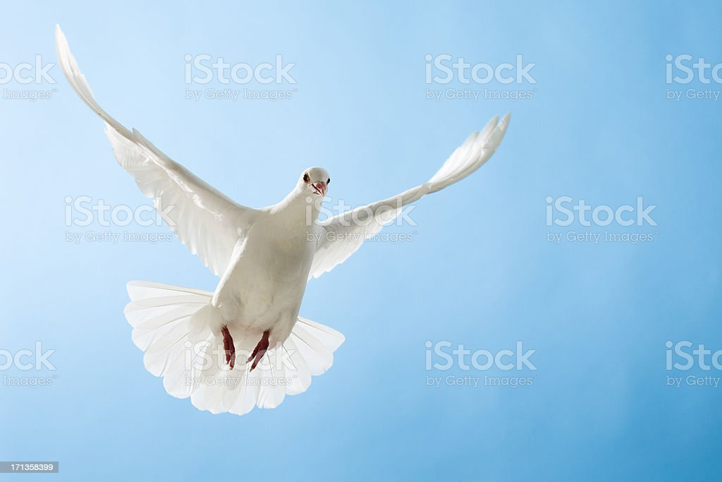 White dove with outstretched wings on blue sky stock photo