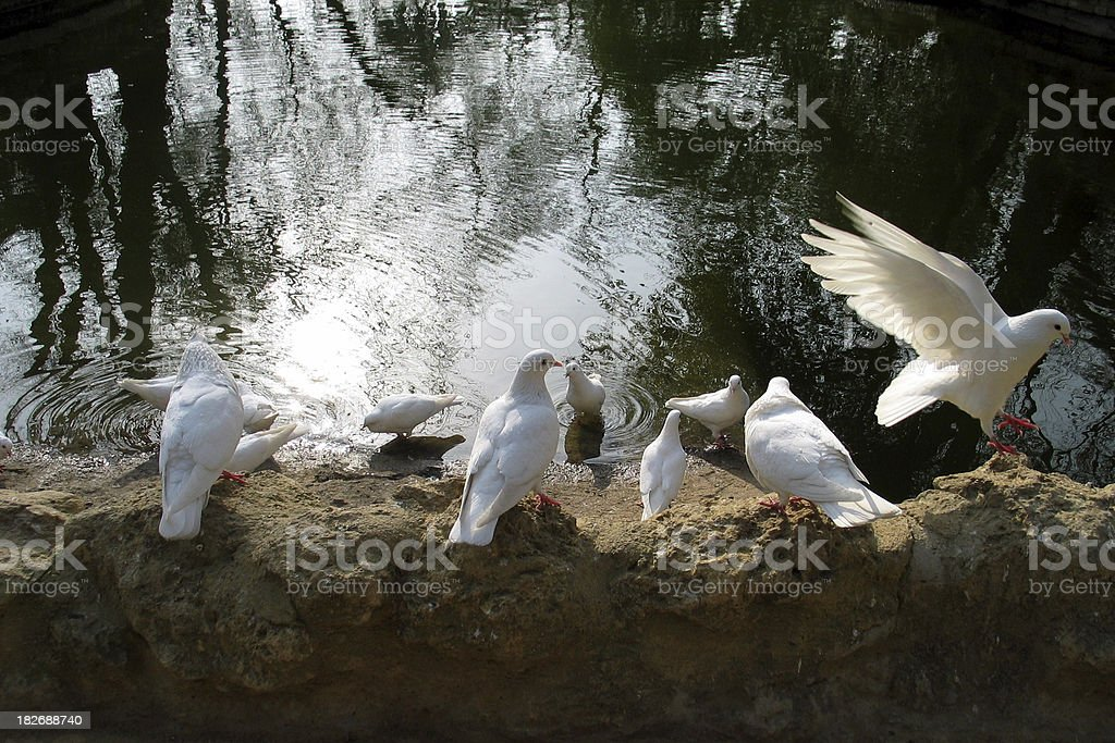 White doves by a lake  in Sevilla, Spain stock photo