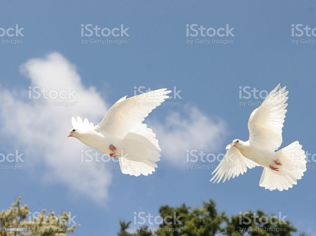 White Doves flying royalty-free stock photo