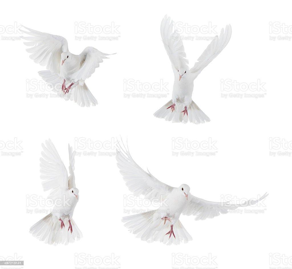 White doves flying stock photo