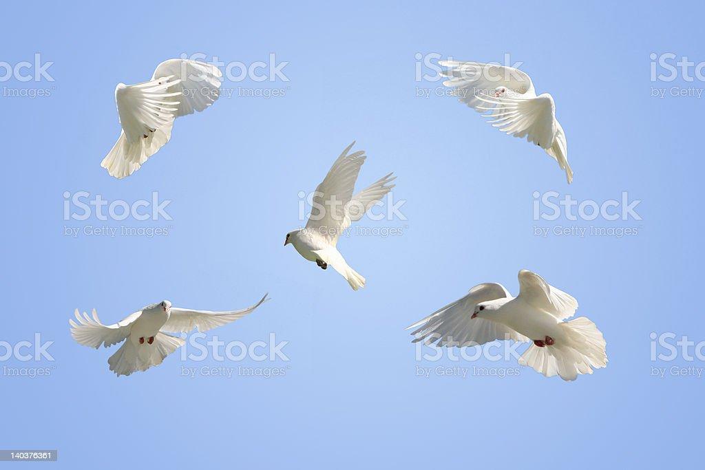 White Doves in flight royalty-free stock photo