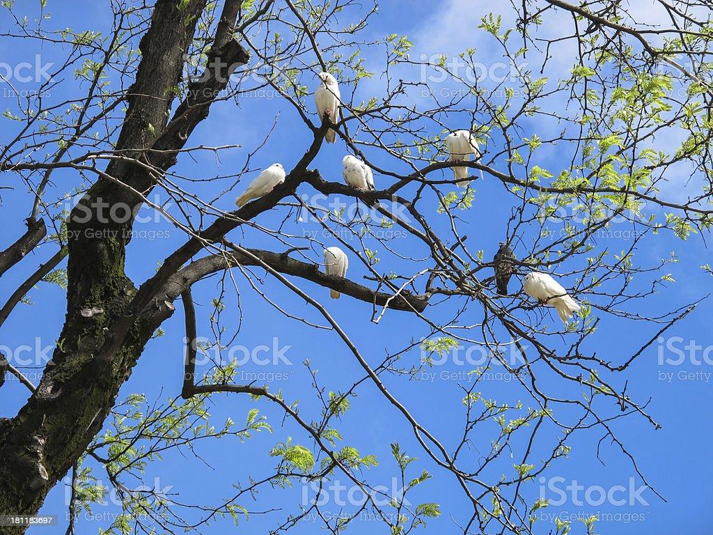 White doves on a tree royalty-free stock photo
