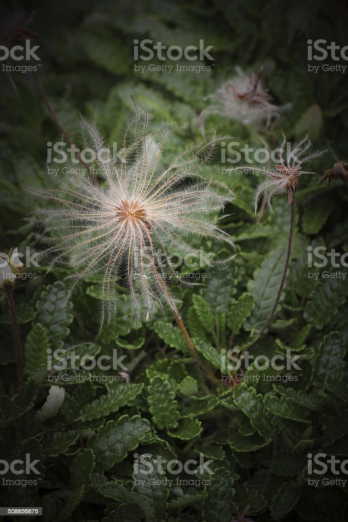 White Dryad Seeds stock photo