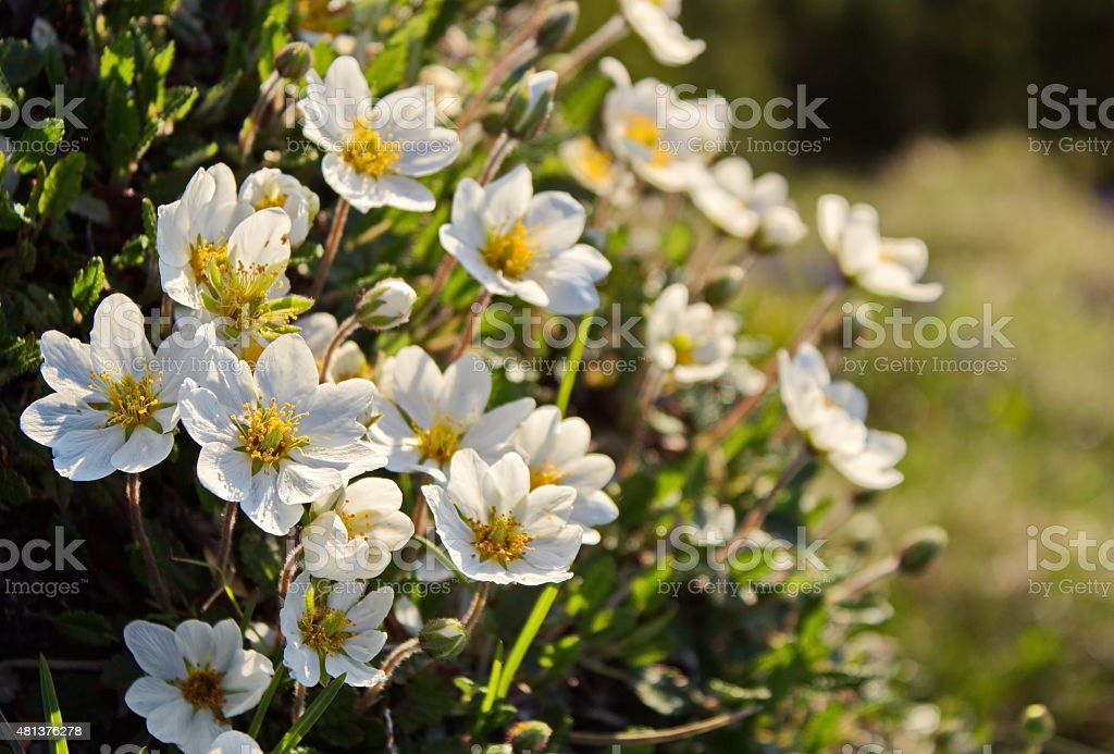 white dryas in morning light stock photo