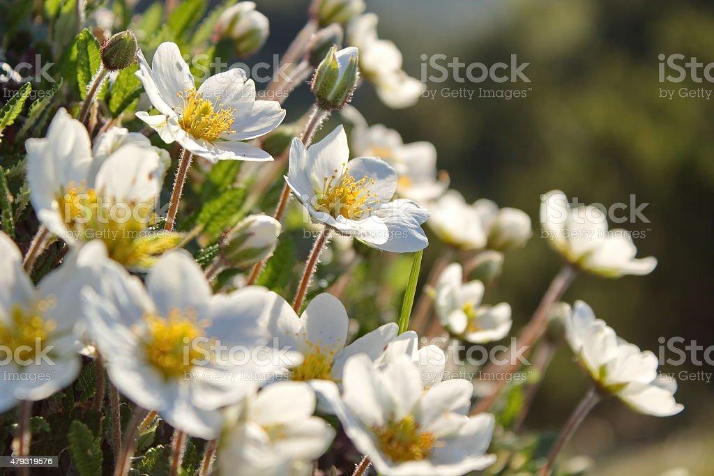 white dryas, white mountain flowers stock photo