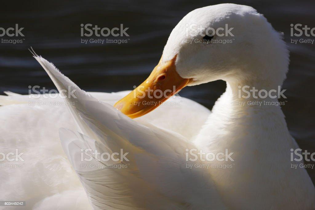 White Duck Anas platyrhynchos Preening Feathers stock photo