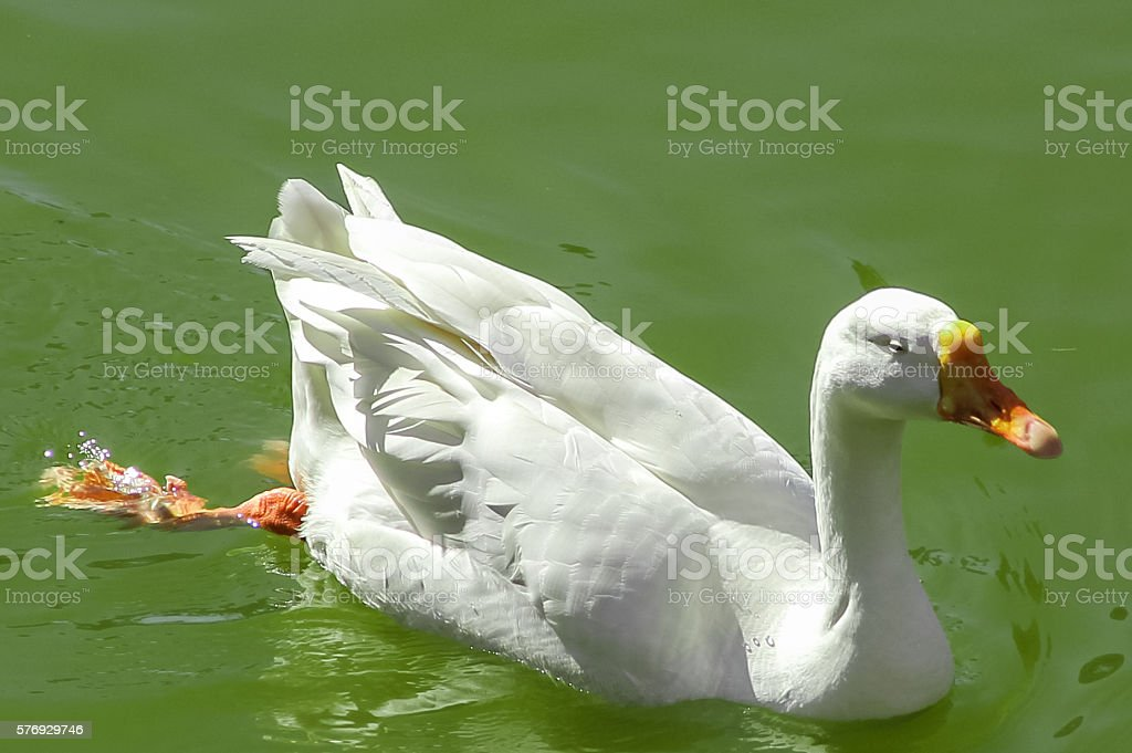 white duck in a pond stock photo