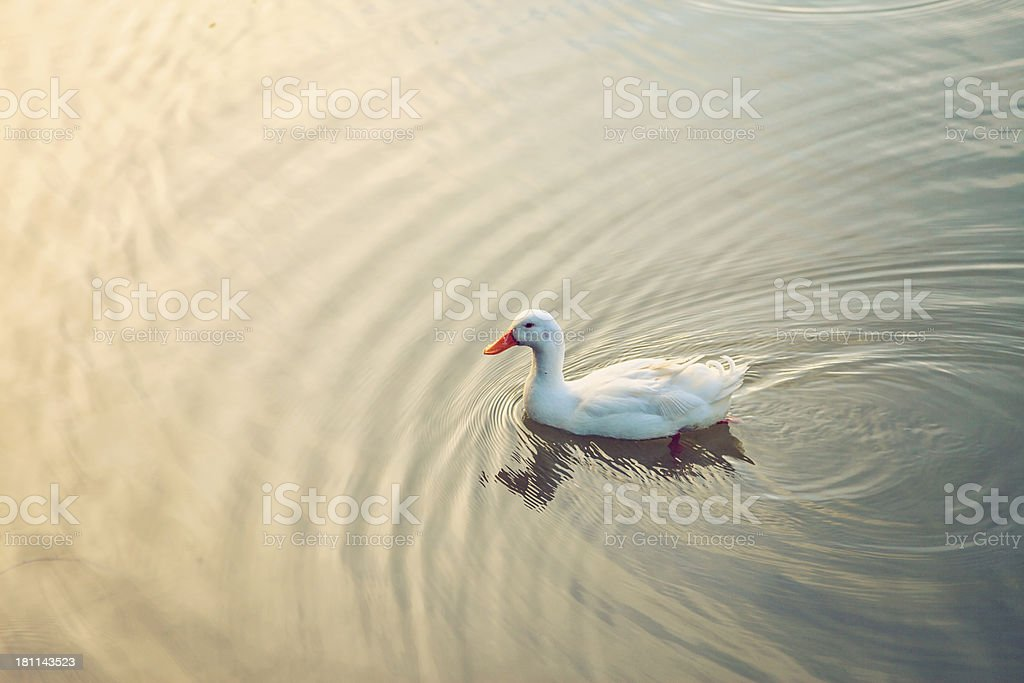 White Duck stock photo