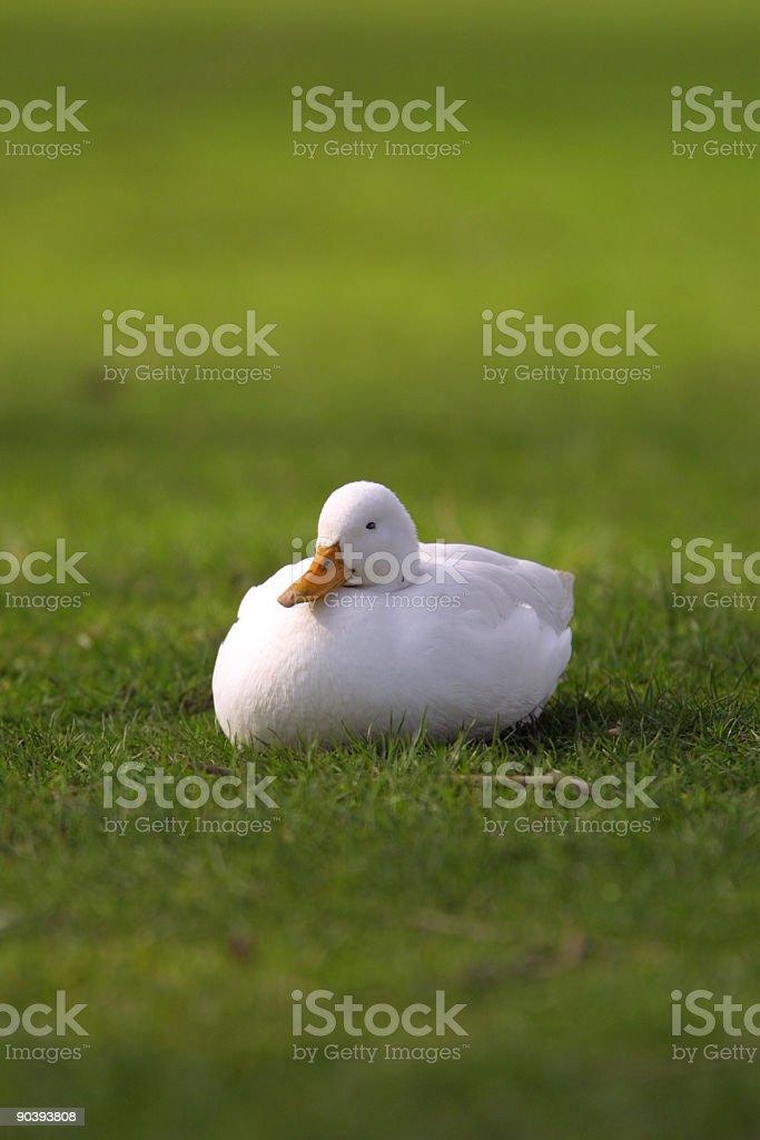 white duck royalty-free stock photo