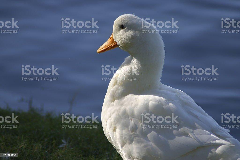 Biały duck zbiór zdjęć royalty-free